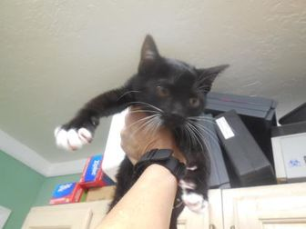 Domestic Shorthair/Domestic Shorthair Mix Cat for adoption in Morgan Hill, California - Lennon