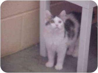 Domestic Mediumhair Kitten for adoption in Burnsville, North Carolina - Hazel