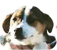Terrier (Unknown Type, Small)/Beagle Mix Puppy for adoption in Lexington, Missouri - Tasha