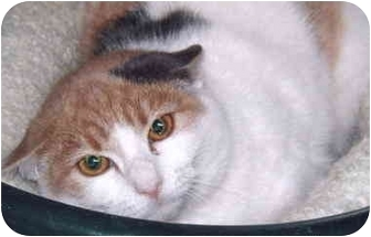 Calico Cat for adoption in Grass Valley, California - Tina