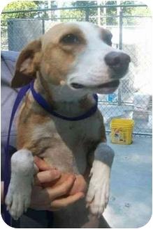 Hound (Unknown Type) Mix Dog for adoption in Spruce Pine, North Carolina - Vail