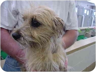 Cairn Terrier Mix Dog for adoption in Marshalltown, Iowa - Dinky