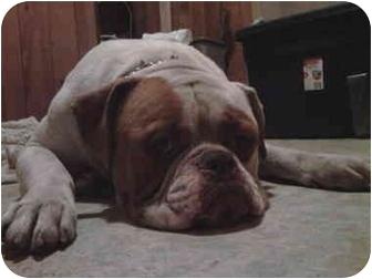 English Bulldog Mix Dog for adoption in Bay City, Michigan - Big Boy~~ADOPTED 2/2011~~