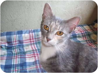 Domestic Shorthair Cat for adoption in Morris, Pennsylvania - TJ