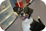 Australian Shepherd/Tea Cup Poodle Mix Dog for adoption in Edwardsville, Illinois - Buddy
