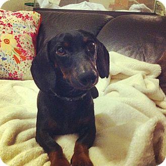 Dachshund Dog for adoption in Gainesville, Florida - Joe