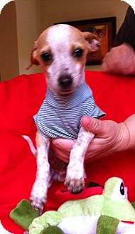 Rat Terrier Mix Puppy for adoption in Irvine, California - FRECKLES, 3 Lb puppy