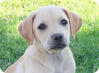 Labrador Retriever/Hound (Unknown Type) Mix Puppy for adoption in Westport, Connecticut - *Camery - PENDING