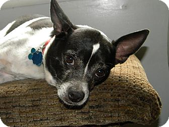 Rat Terrier/Terrier (Unknown Type, Small) Mix Dog for adoption in Hamden, Connecticut - ERIC