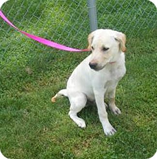 Labrador Retriever Mix Dog for adoption in Delaware, Ohio - Si