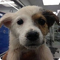 Adopt A Pet :: Lolo - Westminster, CO