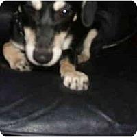 Adopt A Pet :: Yoyo - SCOTTSDALE, AZ