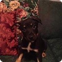 Adopt A Pet :: Thor - Justin, TX
