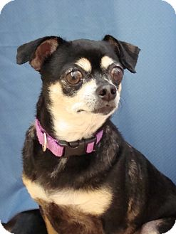 Chihuahua Mix Dog for adoption in Youngwood, Pennsylvania - Holly