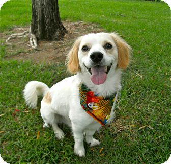 Spaniel (Unknown Type) Mix Dog for adoption in El Cajon, California - Sparky