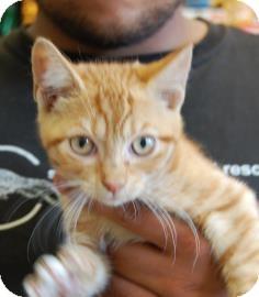 Domestic Shorthair Kitten for adoption in Brooklyn, New York - Bethany