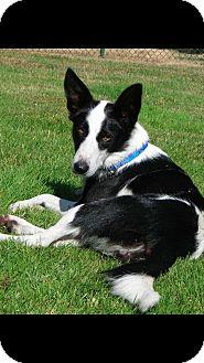 Border Collie Mix Dog for adoption in Gig Harbor, Washington - Willow