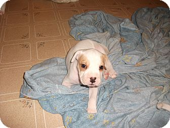 Shar Pei Mix Puppy for adoption in Williamsburg, Virginia - Kimiko