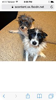 Terrier (Unknown Type, Small) Mix Dog for adoption in Spring Valley, New York - Clyde