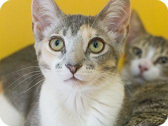 Calico Cat for adoption in Los Angeles, California - Catania