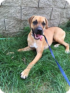 Boxer/Mastiff Mix Dog for adoption in Harmony, Glocester, Rhode Island - Rory