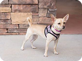 Chihuahua Mix Dog for adoption in Chandler, Arizona - Kiki