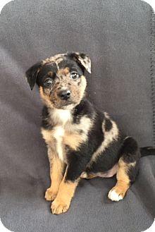 Australian Shepherd Mix Puppy for adoption in Hainesville, Illinois - Cookie