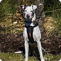 Catahoula Leopard Dog/Greyhound Mix Dog for adoption in Houston, Texas - Gus