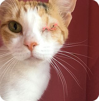 Domestic Shorthair Cat for adoption in Wayne, New Jersey - Cream Puff