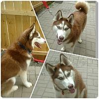 Adopt A Pet :: Orion - Boyertown, PA