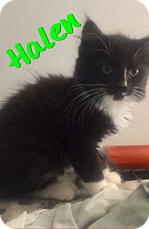 Domestic Shorthair Kitten for adoption in Waldorf, Maryland - Halen