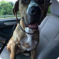 Adopt A Pet :: Flint - Charlotte, NC