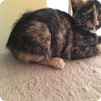 Domestic Shorthair Kitten for adoption in Indianapolis, Indiana - Pawdrey Hepburn