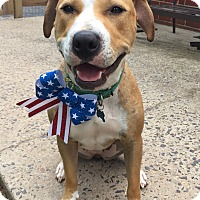 Pit Bull Terrier/Hound (Unknown Type) Mix Dog for adoption in Paoli, Pennsylvania - Penny
