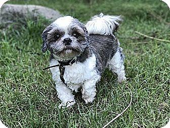 Shih Tzu Mix Dog for adoption in West Nyack, New York - Bubba