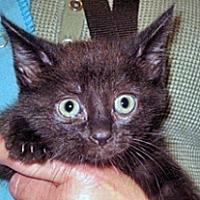 Domestic Shorthair Kitten for adoption in Wildomar, California - 359434