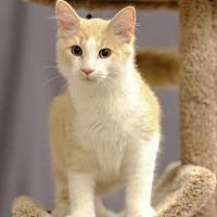 Adopt A Pet :: Romeo C1916 (Bonded with Oscar C1915) - Shakopee, MN