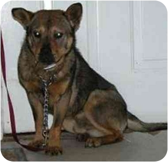 Australian Cattle Dog Mix Dog for adoption in Oxford, Michigan - Roscoe