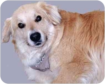 Golden Retriever Mix Dog for adoption in Grass Valley, California - Henry*URGENT*