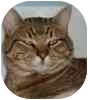 Domestic Shorthair Cat for adoption in Eagle, Colorado - Bolt