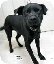 Labrador Retriever Mix Dog for adoption in Avon, New York - Jake