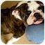 Photo 2 - English Bulldog Dog for adoption in Gilbert, Arizona - Penelope