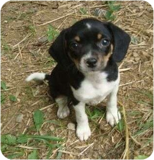Chihuahua/Beagle Mix Puppy for adoption in Windham, New Hampshire - Rosie - In New England!
