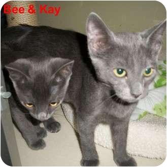 Domestic Shorthair Kitten for adoption in Slidell, Louisiana - Kay