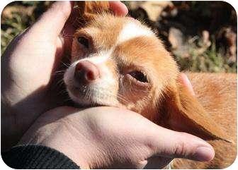 Chihuahua Mix Dog for adoption in Yuba City, California - Itty
