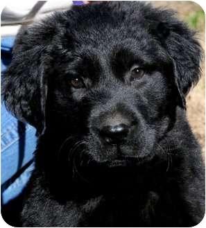 Golden Retriever/Labrador Retriever Mix Puppy for adoption in Wakefield, Rhode Island - EMMA(GOLDEN/LAB PUPPY!!! WOW!!