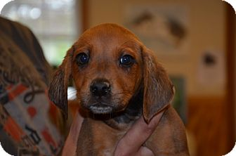 Hound (Unknown Type) Mix Puppy for adoption in Broadway, New Jersey - Maple