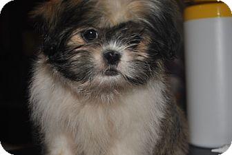 Shih Tzu Puppy for adoption in Webster, Minnesota - Juliet - ADOPTION PENDING