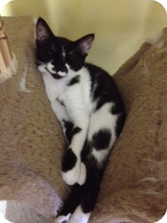 Domestic Shorthair Kitten for adoption in Byron Center, Michigan - Mei Ling