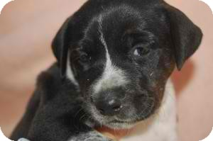 Blue Heeler/Border Collie Mix Puppy for adoption in Anza, California - Freckle Pup 7